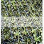 trawy kurze łapki