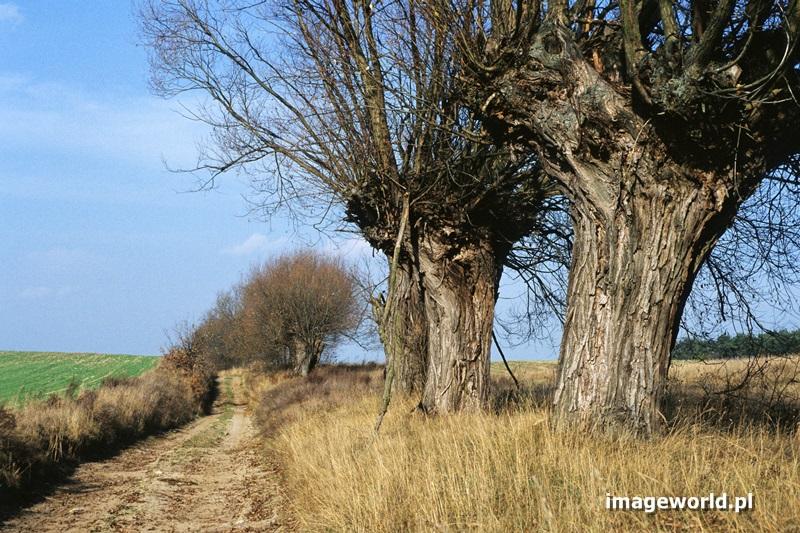 Fakty i mity o ogławianiu drzew.